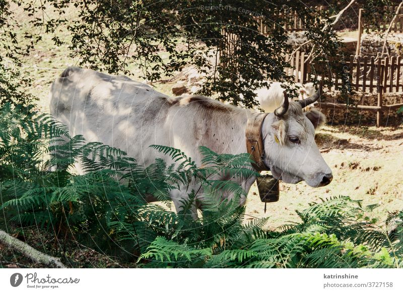 Podolic cow on the pasture in the forest Podolic cows podolic podolian trees meadow sunrise breed grey green grass agriculture animal domestic italy campania