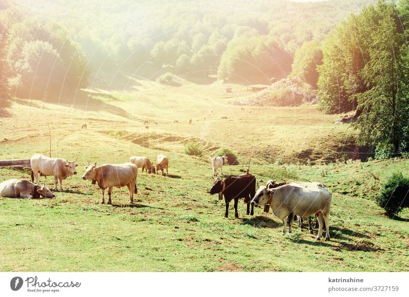 Podolic cows on the pasture on a sunrise podolic podolian meadow breed grey green grass agriculture animal domestic italy campania cattle countryside farm