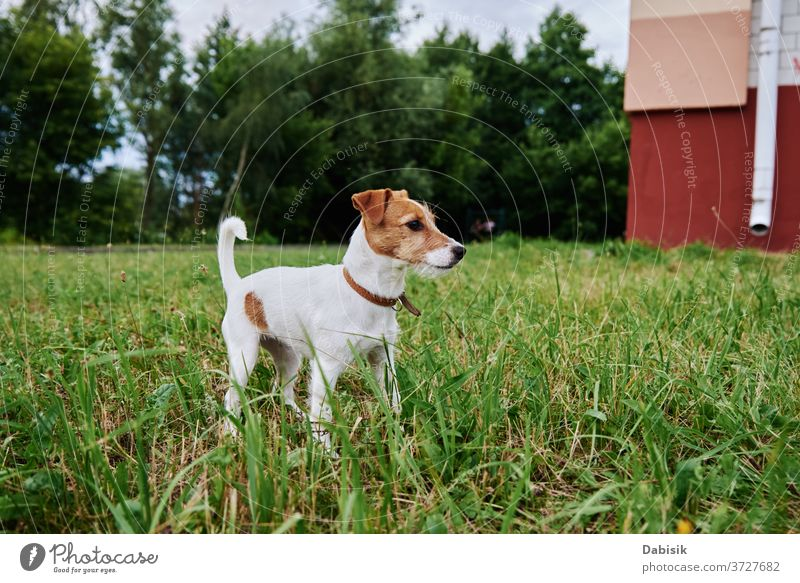 Dog on the grass in summer day. Jack russel terrier puppy portrait dog cute happy pet adorable brown face breed domestic park play healthy outside kid doggy
