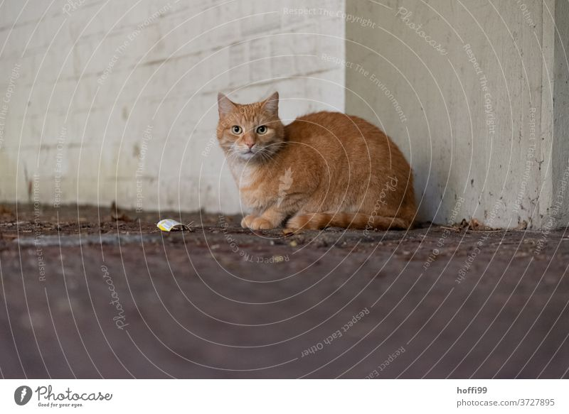 The cat is reserved and carefully waiting Cat Red-haired Animal portrait Domestic cat Cat eyes Pelt Animal face Cat's head Looking Eyes Cat's ears Snout