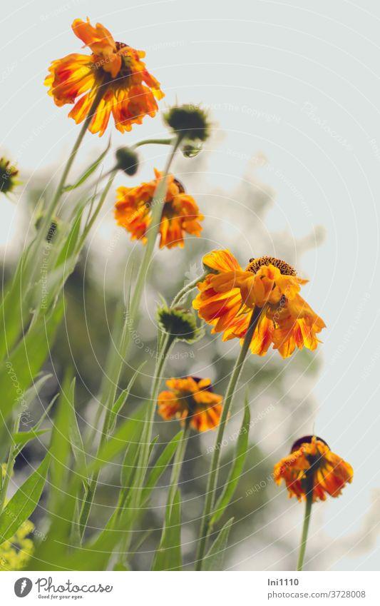 Sunbrow yellow orange helenium sun bride shrub Garden cut flower Summer from below grey sky Illuminate Perennial bed green