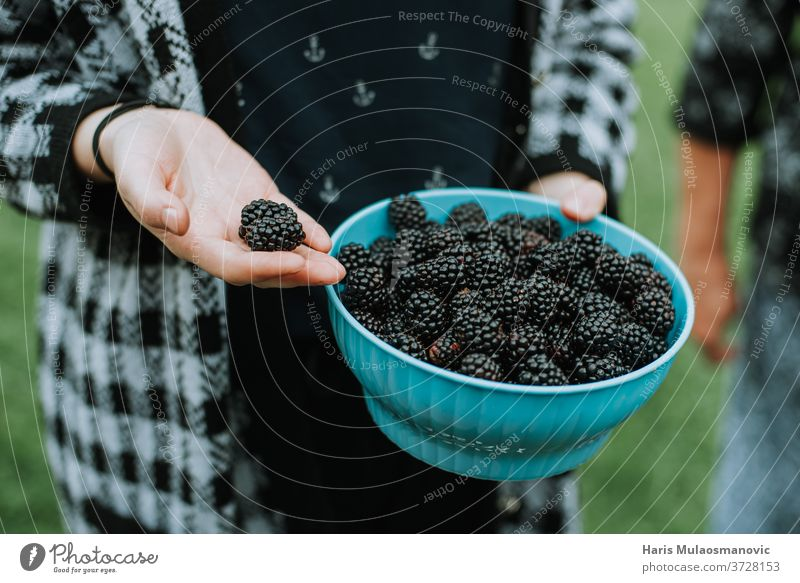 Holding fresh organic picked blackberry fruit from the garden agriculture background bowl brown closeup coffee dark food freshness fruits hand harvest health