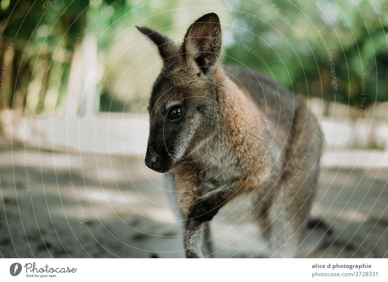 curious wallaby looking at the camera Kangaroo Animal Australia Wild animal Animal portrait Vacation & Travel Nature Cute Environment zoo nature kangaroo