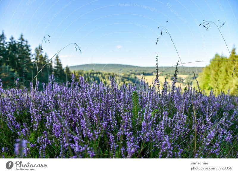Summer heath in the mountains in late summer Heathland purple Forest Highlands Nature grasses Foreground fichtelgebirge Bavaria blue Sky Weather background