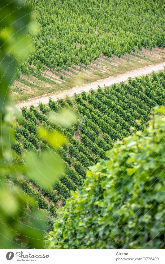 in search of the truth Vine Plant Wine growing Vineyard Winegrower Agriculture Bunch of grapes sunny Bright green Illuminating Joie de vivre (Vitality) fruit