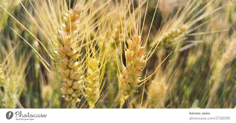 Wheat ears in a close-up Wheatfield Wheat grain Wheat harvest Field Exterior shot Plant Summer Nature Colour photo Grain Agricultural crop Deserted Agriculture