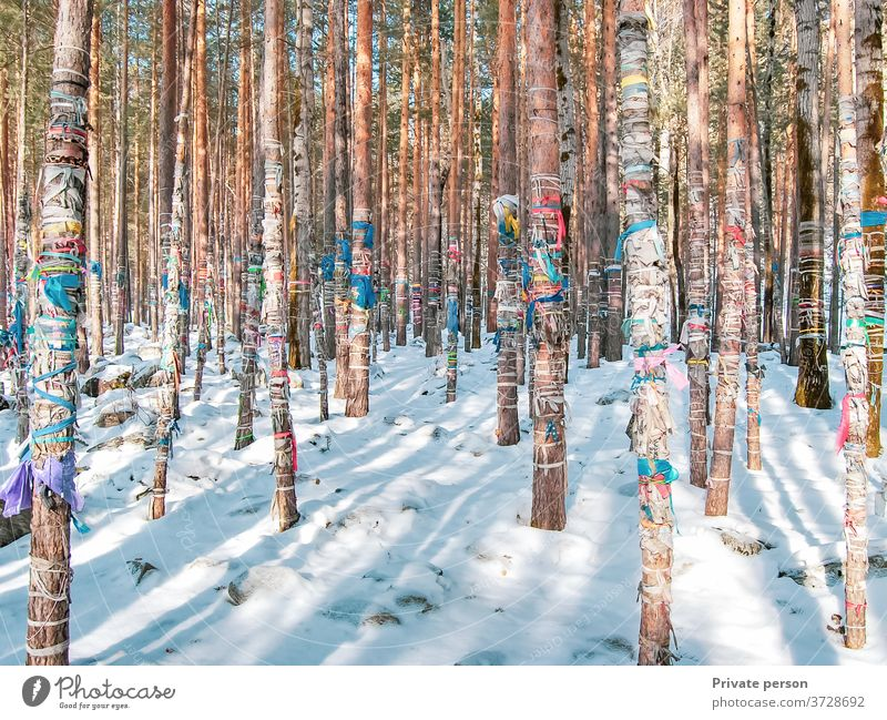 Winter forest covered with snow, colored ribbons are tied on tree trunks, sacred ritual ribbons used as offerings to spirits, Buddhism trees winter cold tape