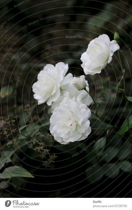 the perception pink Rose blossom white rose roses flowering roses White white roses Elegant Romance Noble Poetic Meaning floribunda Rose scent romantic