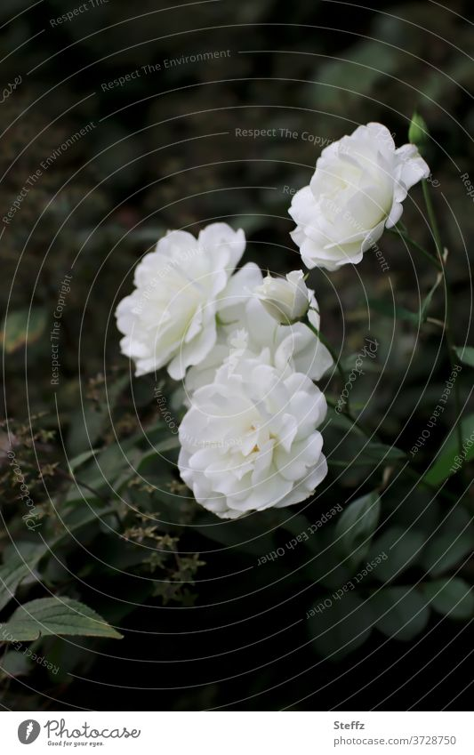 the perception pink roses White white roses flowers Fragrance Elegant Romance Noble natural Rose scent romantic fragrances fragrant Garden rose Dark green