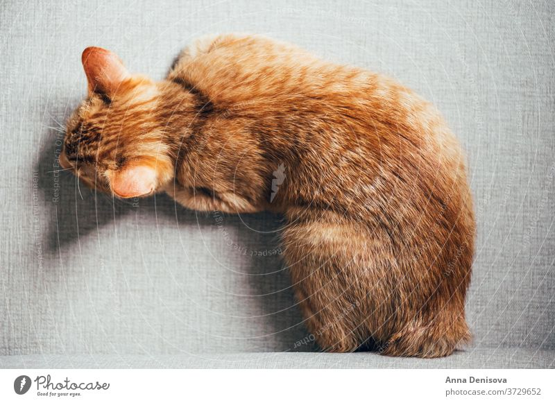 Cute ginger kitten sleeps cute cat relax on back sofa pet baby manx tailless home cozy comfort resting fluffy sleeping kitty adorable child little animal warm