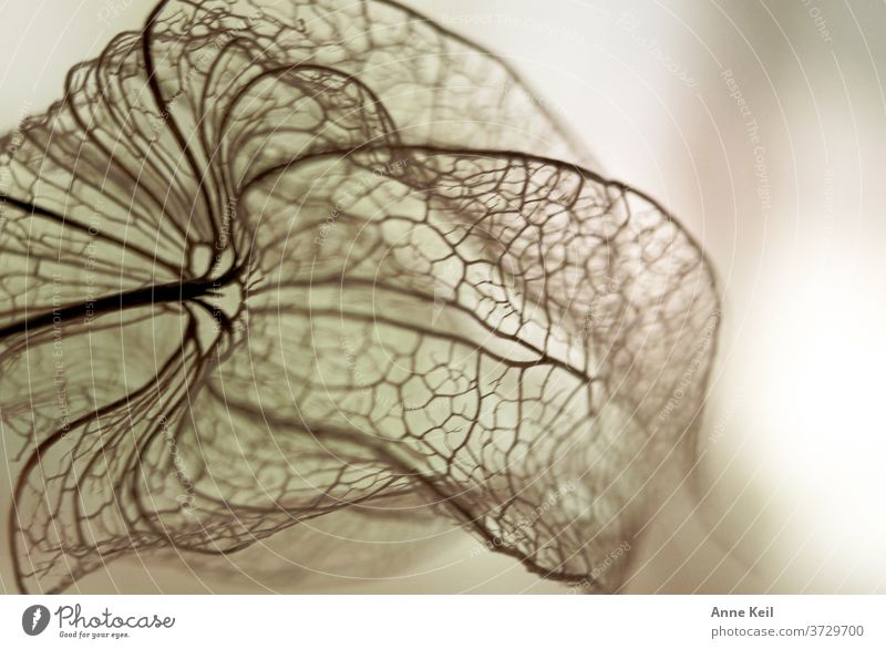 Cover of the lampion flower Chinese lantern flower Colour photo Deserted Physalis Close-up Day Nature Copy Space top Detail Structures and shapes slender