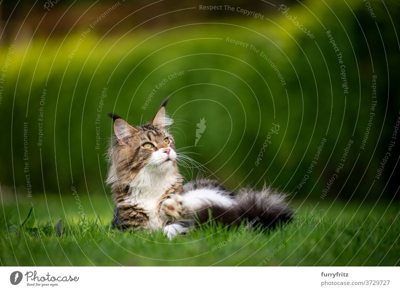 tabby maine coon cat in green garden longhair cat purebred cat pets white outdoors front or backyard nature lawn meadow grass hedge fur feline fluffy kitty cute