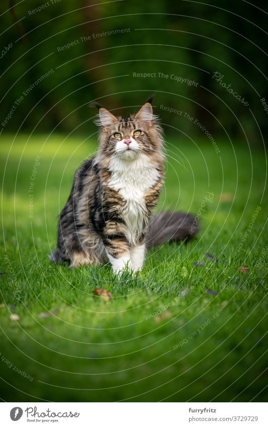 tabby maine coon cat on meadow longhair cat purebred cat pets white outdoors front or backyard garden green nature lawn grass fur feline fluffy kitty cute