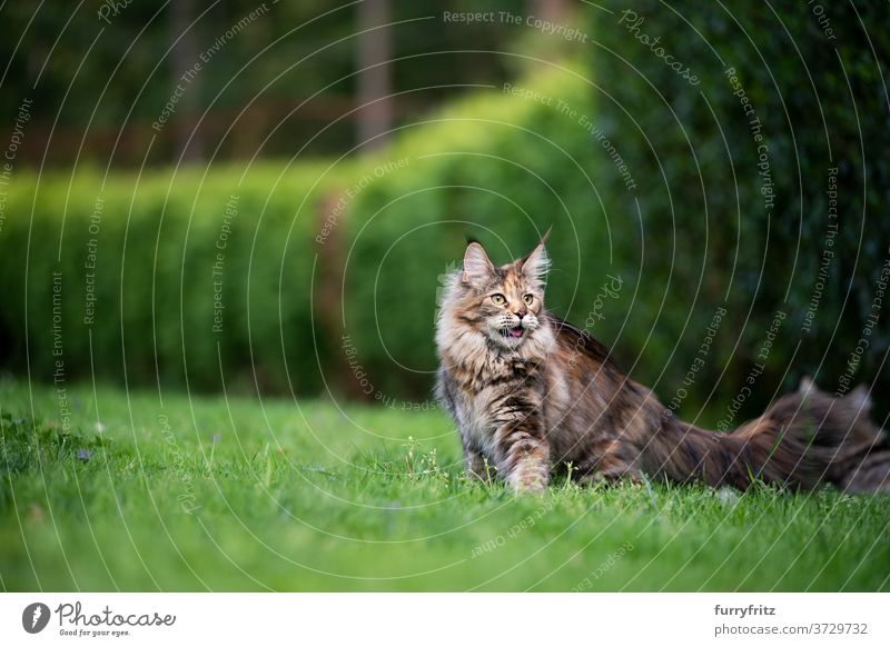 maine coon cat in green garden longhair cat purebred cat pets tortoiseshell cat outdoors front or backyard nature lawn meadow grass hedge fur feline fluffy
