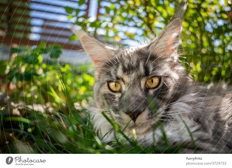 maine coon cat resting in shady place outdoors longhair cat purebred cat pets front or backyard garden green nature grass fur feline fluffy kitty cute adorable