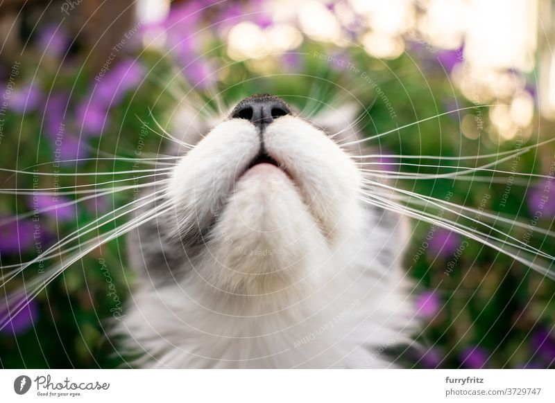 maine coon kitten whiskers cat maine coon cat longhair cat purebred cat pets outdoors front or backyard garden green nature flower bloom plants blossom pink fur