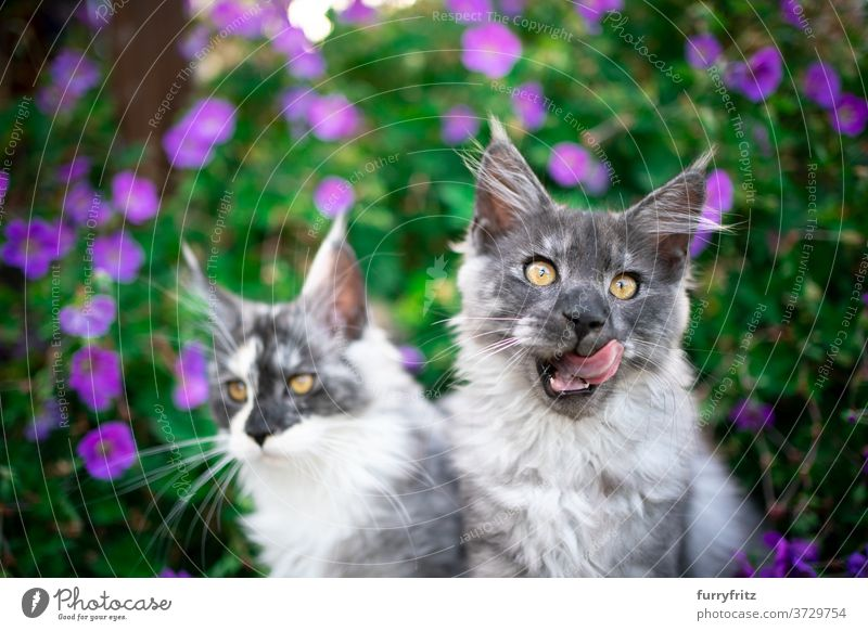 two maine coon kittens in between flowering plants cat maine coon cat longhair cat purebred cat pets blue smoke outdoors front or backyard garden green nature