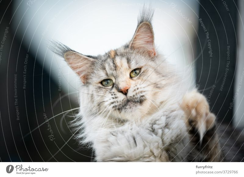 maine coon cat playing raising paw longhair cat purebred cat pets outdoors fur feline fluffy kitty cute adorable one animal looking at camera