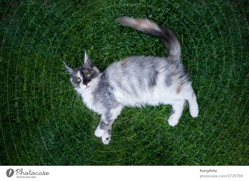 maine coon cat lying on grass longhair cat purebred cat pets outdoors front or backyard garden green nature lawn meadow fur feline fluffy kitty cute adorable