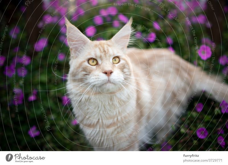 maine coon cat portrait outdoors longhair cat purebred cat pets front or backyard garden green nature flower bloom plants blossom pink fur feline fluffy kitty