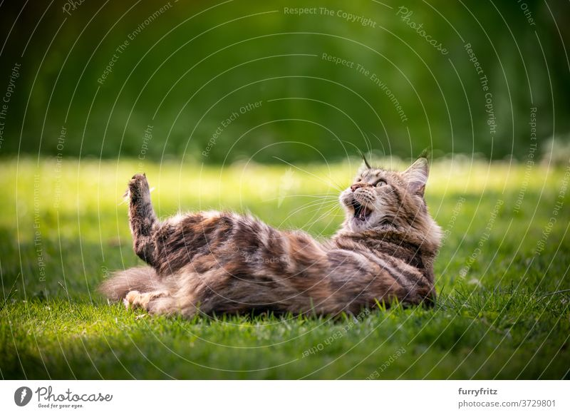 maine coon cat playing on lawn longhair cat purebred cat pets tortoiseshell cat calico tabby outdoors front or backyard garden green nature meadow grass fur