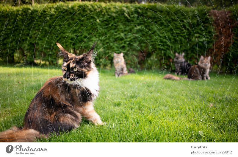 group of maine coon cats in garden longhair cat purebred cat pets calico tortoiseshell cat outdoors front or backyard green nature lawn meadow grass fur feline