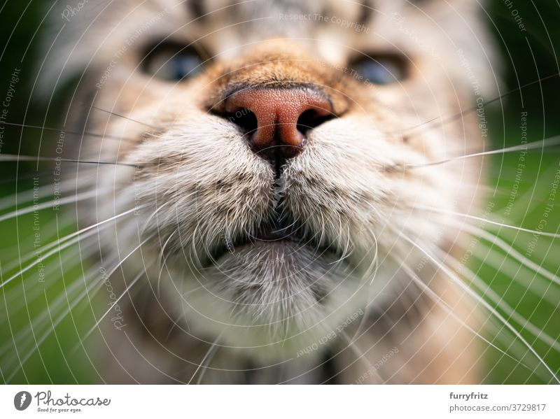 maine coon cat mouth and nose longhair cat purebred cat pets tabby outdoors front or backyard garden green nature fur feline fluffy kitty cute adorable close-up