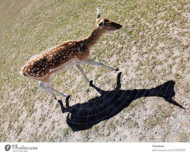 Fallow deer are stalked by their own shadow Wild Wild animal Animal Nature Colour photo Exterior shot 1 Day Environment Deserted natural Plant Grass green