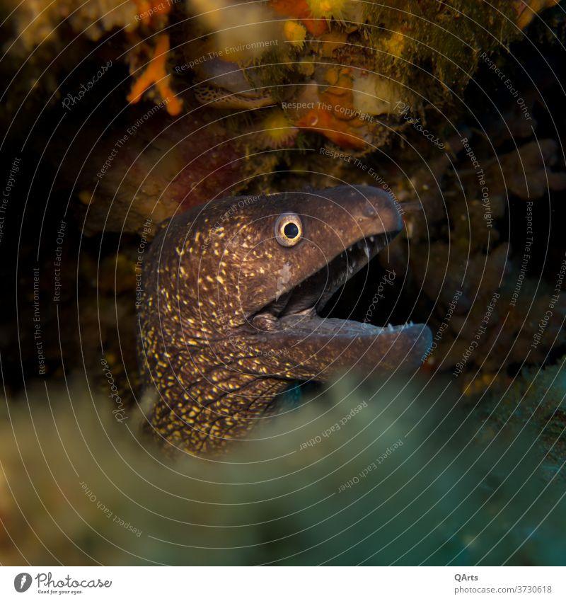 Don't touch this... Moray eel waiting for prey 2020 Elba Eyes Fish Italy Mediterranean sea Ocean Dive underwater Aquatic predator