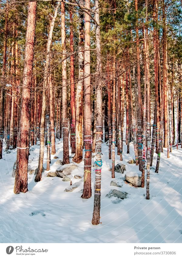 custom to tie colored ropes on trees to fulfill wishes Forest No people Winter Outdoors Snowfall Pine Pinaceae Christmas Branch - part of a plant Season