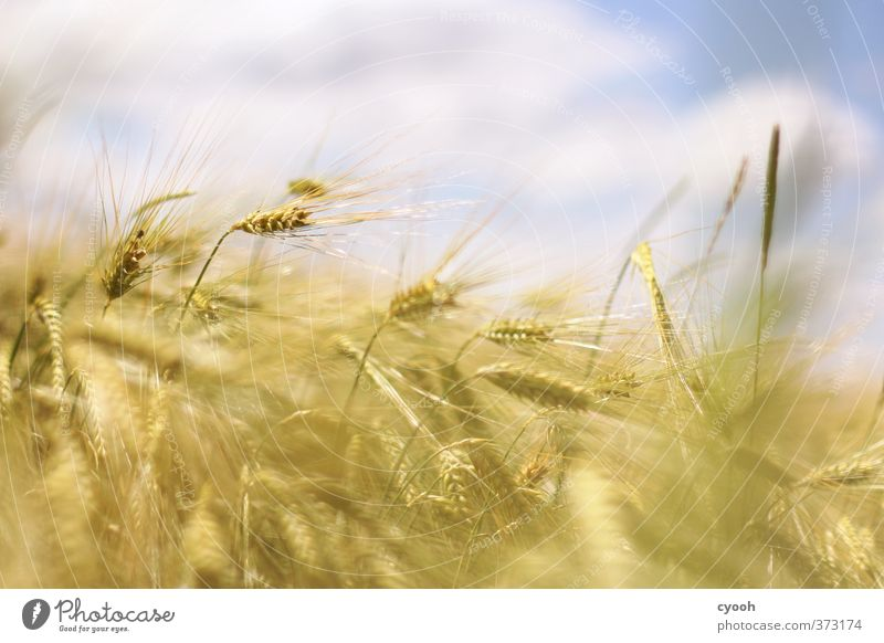 Sky Nature Blue Summer Plant Clouds Yellow Warmth Movement Healthy Bright Field Gold Wind Wild Contentment