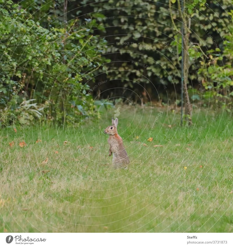 Wild rabbit gets overview wild rabbits provide an overview Hare & Rabbit & Bunny Wild animal Overview Review keep an eye out Observe look Easter Bunny test