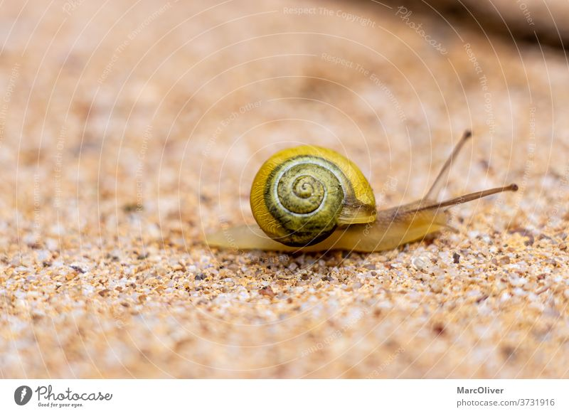 Garden Snail Garden Ribbon Snail white-lipped snail Slug To leaf (through a book) capea hortensis Animal Shell Nature Slowly Slimy macro Brown Spiral helix