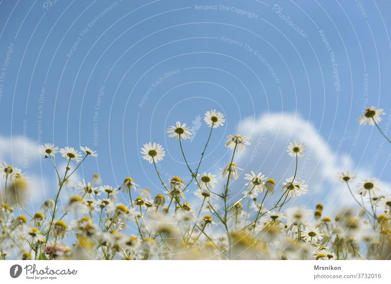 chamomile Chamomile bl flowers Plant Yellow Nature Summer White bleed Medicinal plant Deserted Exterior shot already Blossoming spring Meadow Fragrance Day