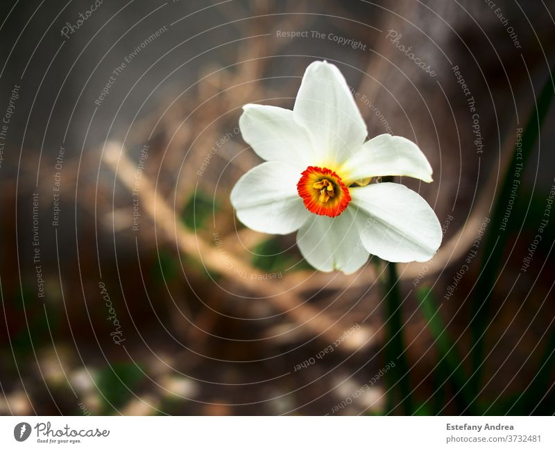 White flower with intense orange center. Close-up nature spring white green bloom blossom background petal beautiful closeup yellow plant natural blooming