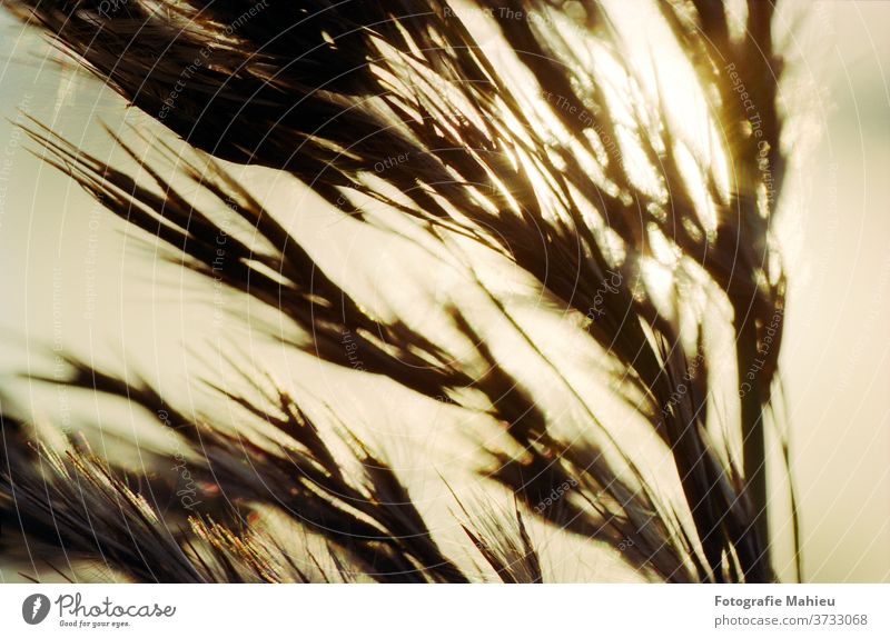 Reed in warm sunlight Flower Yellow abstract autumn autumnal backlit blossoms blur blurry blurry background botany closeup countryside dazzling dazzling light
