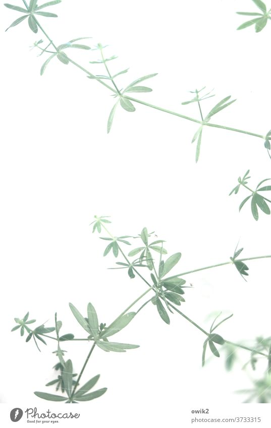 fragile Plant Ornamental plant Twig Thin Simple Detail Close-up Colour photo Pattern Structures and shapes Deserted Copy Space middle Abstract Flexible natural