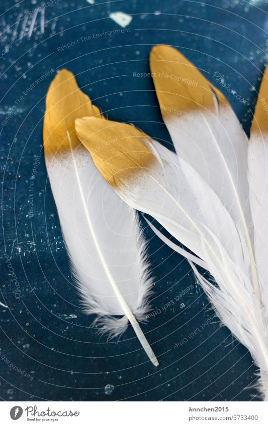 Four white feathers with golden lace on a dark blue background White Gold birds Decoration Interior shot Deserted Animal Nature Colour photo already Noble
