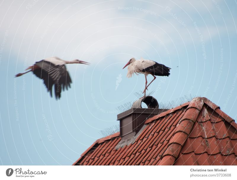 Architecture and nature | A stork landing on a red house roof, on which another stork is already waiting Stork Stork pair 2 birds Animal Wild animal White Stork