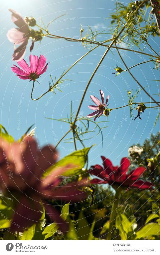 Cosmos bipinnatus flowers blossom bleed Relaxation holidays Garden Sky allotment Garden allotments Deserted Nature Plant tranquillity Garden plot Summer shrub