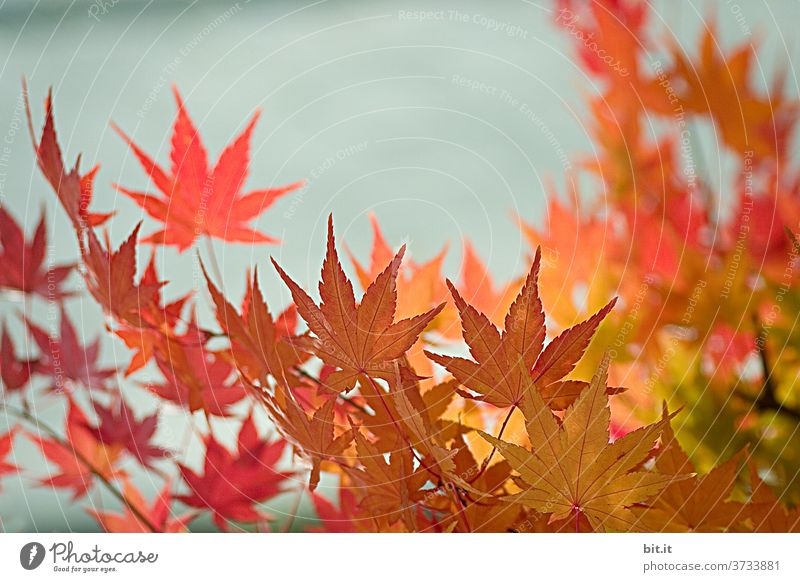Nature & Architecture l Autumn leaves in front of the wall Autumnal Autumnal colours Early fall Leaf canopy flaked Indian Summer Indian summer Illuminate