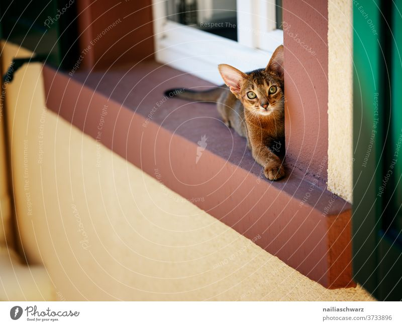 At the window Cat Window shutters Abyssinian Abyssinian cat Colour photo Forward Soft Peaceful Animal face Baby animal Love of animals Pet Contentment Elegant