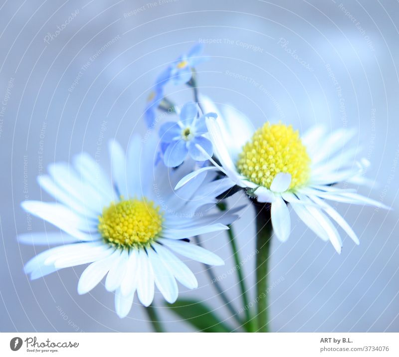 Zwein daisies and in the background forget-me-not flowers bleed Daisy Close-up Plant Nature Forget-me-not Garden Yellow White green flowery Beauty & Beauty