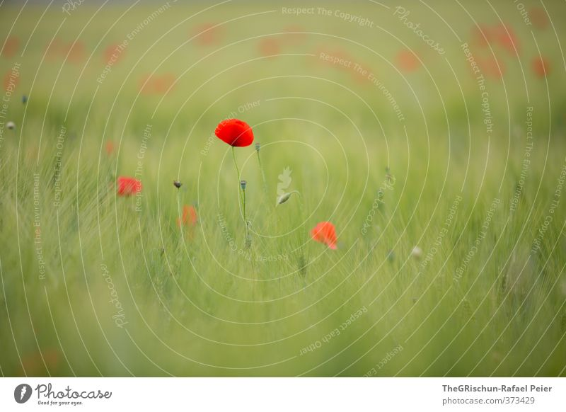 poppy Environment Nature Plant Multicoloured Yellow Green Red Grain Cornfield Field Poppy Poppy field Poppy capsule Poppy leaf Ambience Far-off places