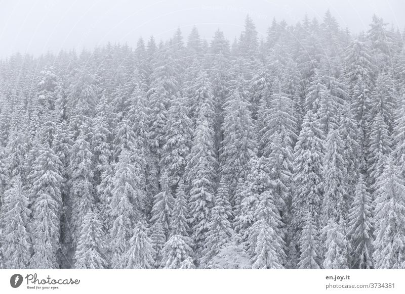snow is snow Snow Winter firs trees Forest Snowscape Winter mood Winter vacation Winter's day Winter forest Cold Frost chill Coniferous forest conifers
