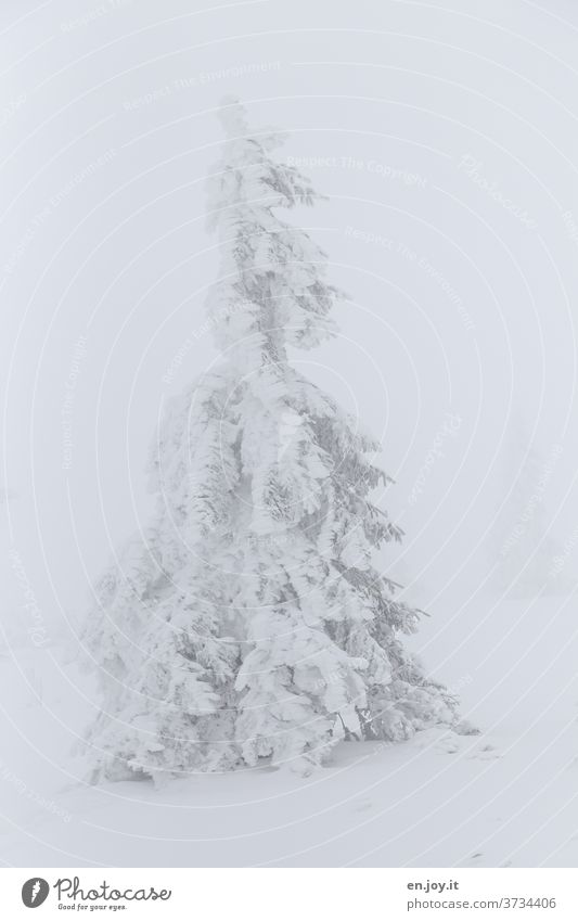 no longer soooo far away - snowy fir tree Fir tree Snow Ice Winter Coniferous trees snow-covered winter landscape White Fog chill Frost icily one Bad weather