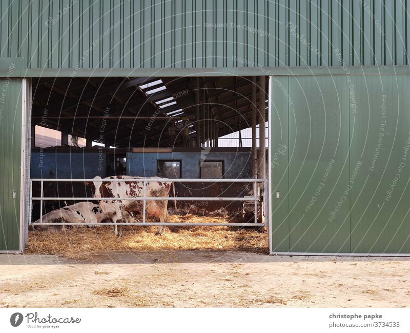 Cow stands in barn chill Barn Farm animal Agriculture Exterior shot Cattle Animal Colour photo Deserted Day Cattle farming Dairy cow Cattle breeding