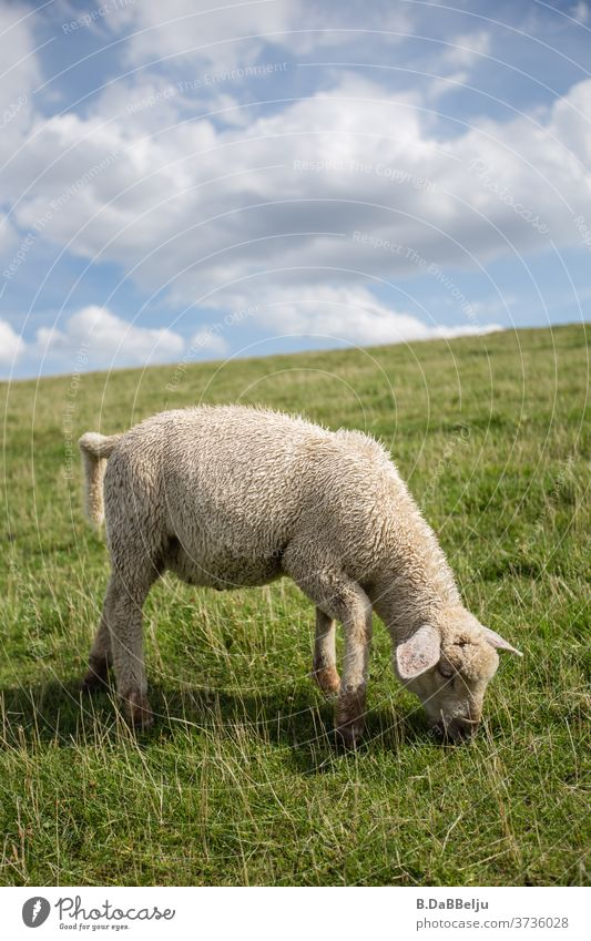 The cute East Frisian dike lamb operates coastal protection through its grazing all day long. Dike lamb East Frisland Grazing Cute Animal Sheep North Sea Grass
