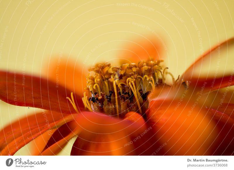 Zinnia hybrid, orange strain orange-colored cultivar flower seleccion detail flowerhead Compositae Asteraceae