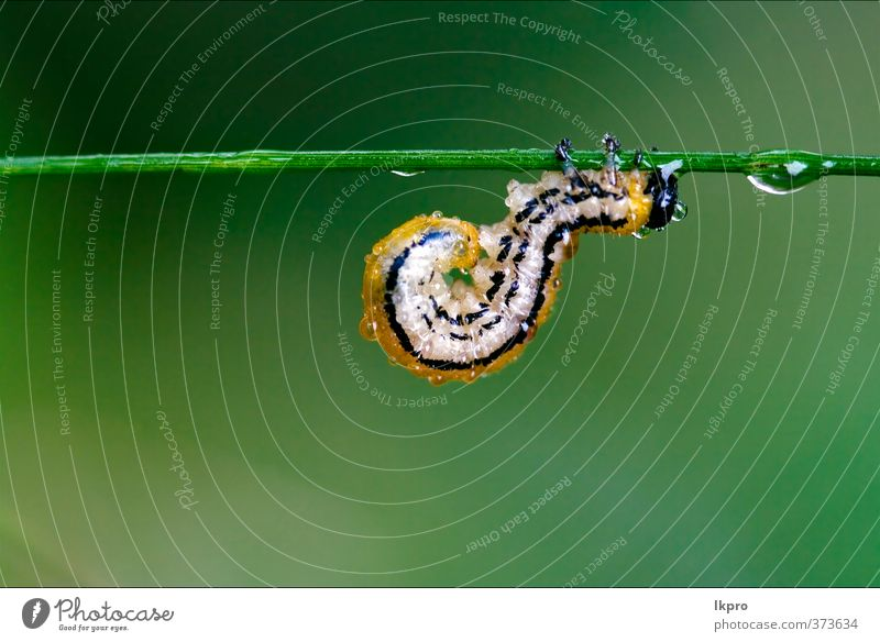 caterpillar of Papilionidae in the head branch fen - a